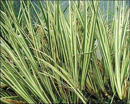 Acorus calamus 39 variegatus 39 archives dragonfly aquatics for Pond reeds for sale