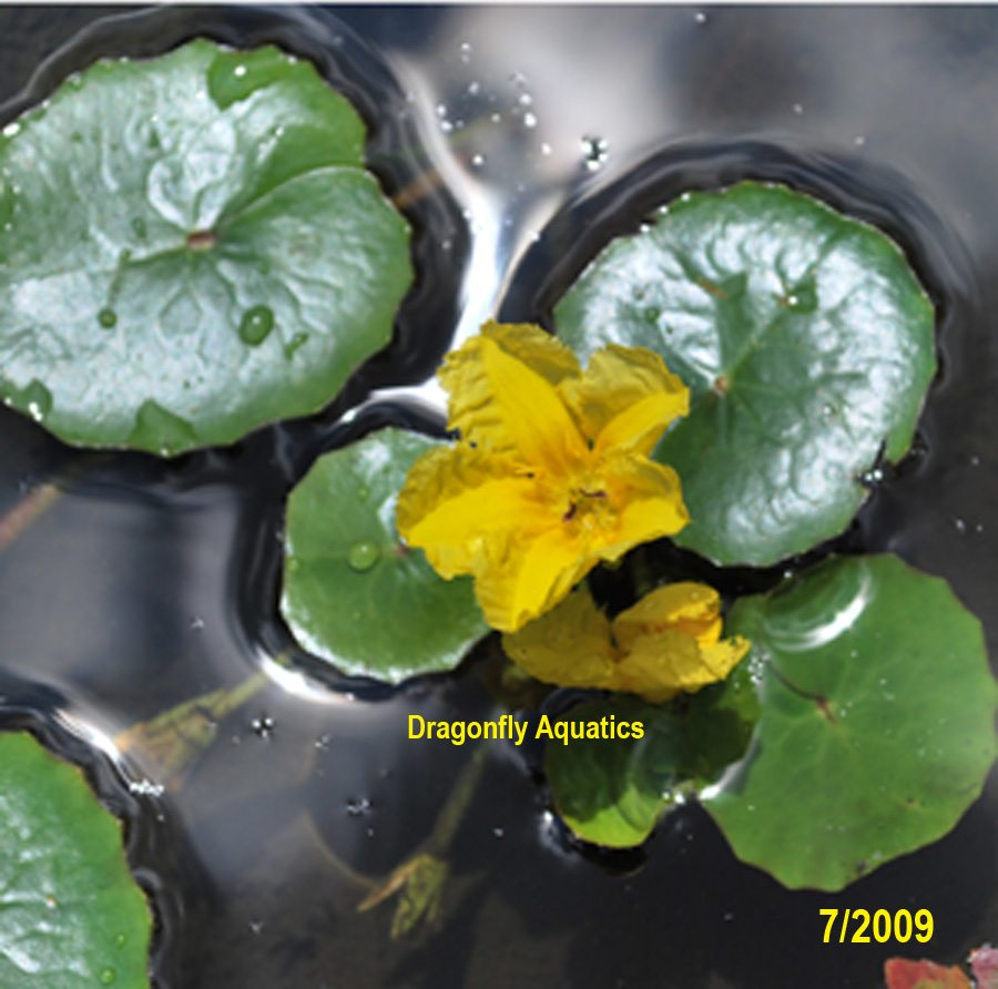 Floating pond plants archives dragonfly aquatics for Pond plants that survive winter