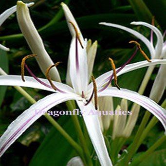 p-13144-Spider-Lily-LG.jpg