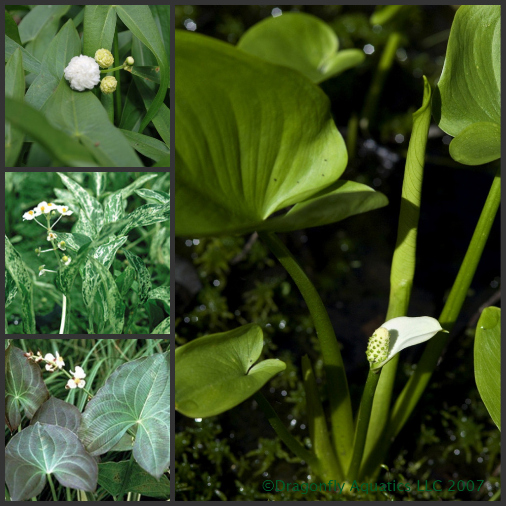 Arrowhead Pond Plant Sampler Dragonfly Aquatics