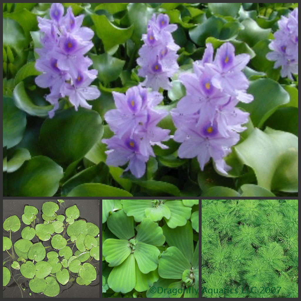 Floating plant sampler small pond plants dragonfly aquatics for Small garden pond plants