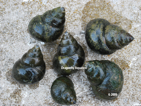 Image gallery trapdoor snails for Garden pond snails