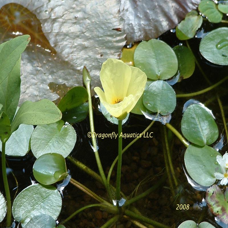 p-12449-Water-Poppy-joans-picture.jpg