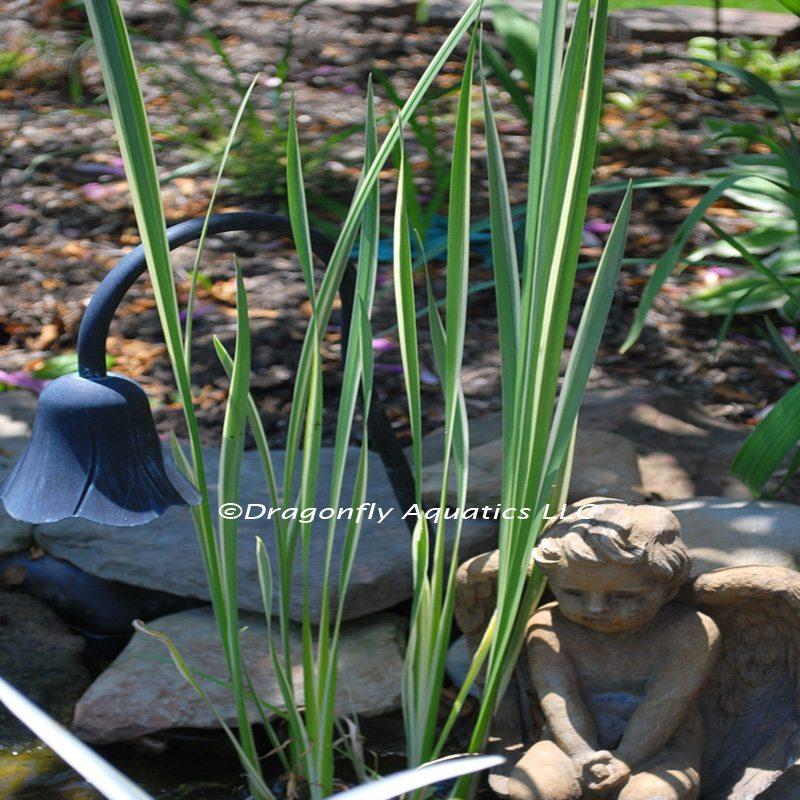p-13142-Var-Sweetflag-my-pond_1.jpg