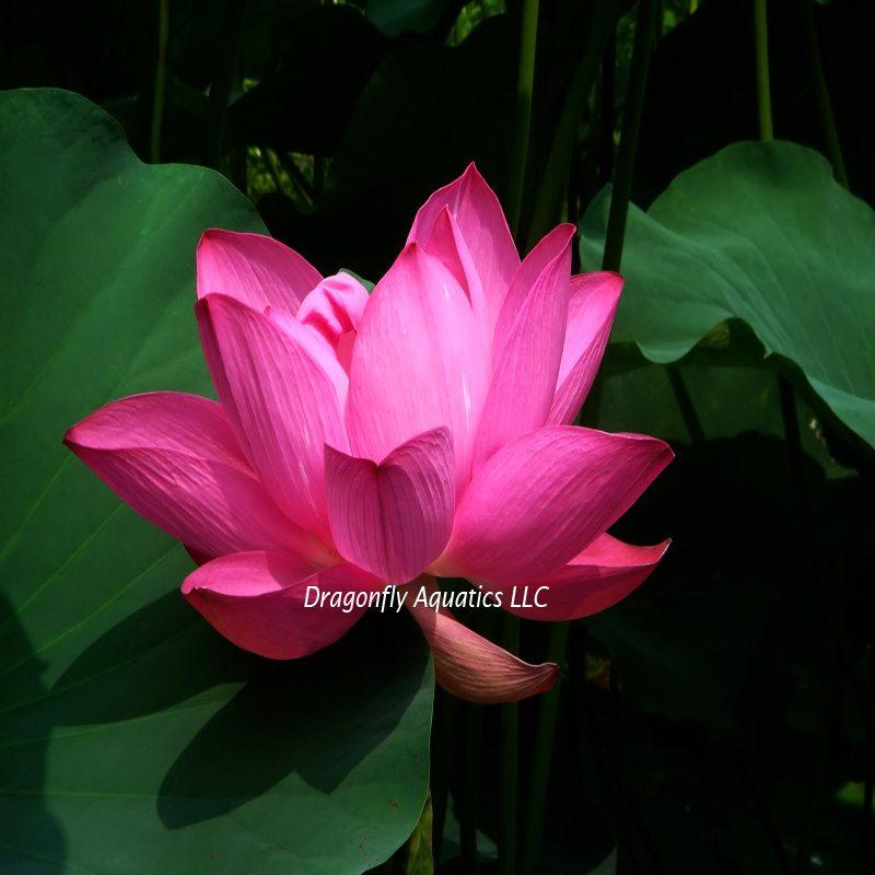 p-13186-Dbl-Rose-Lotus-bigstock.jpg
