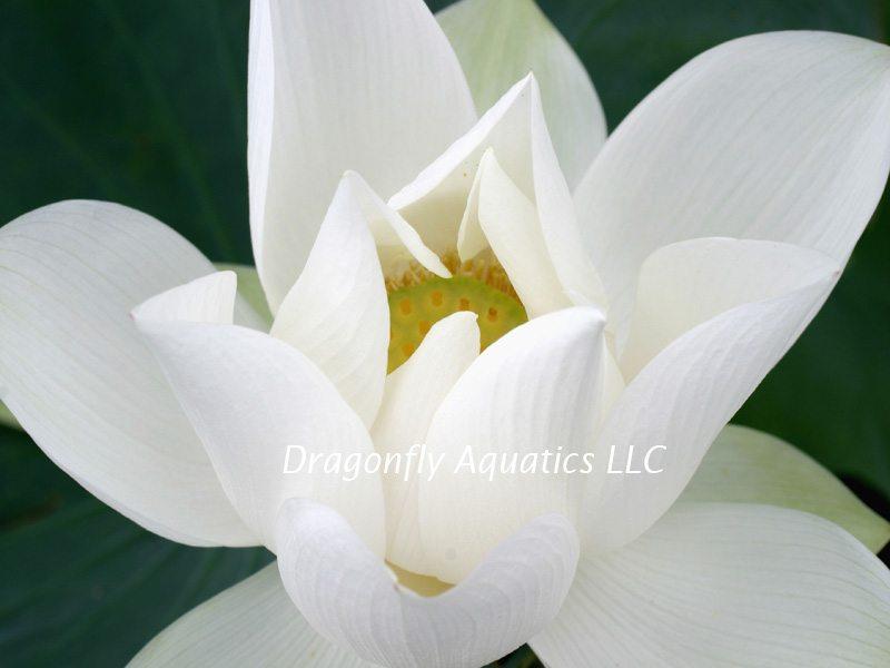 p-13188-Penelope-White-Lotus-istock.jpg