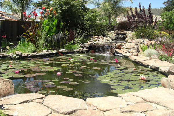 Sale pond plants archives dragonfly aquatics for Pond reeds for sale