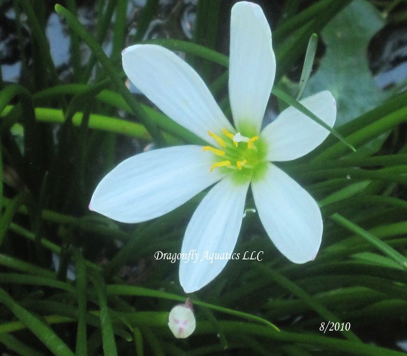 p-13190-Rainliliesmypond.jpg