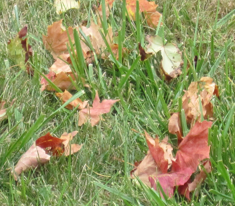Pond plant fall and winter care archives dragonfly aquatics for Winter pond plants