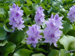 Floating pond plants archives dragonfly aquatics for Winter pond plants