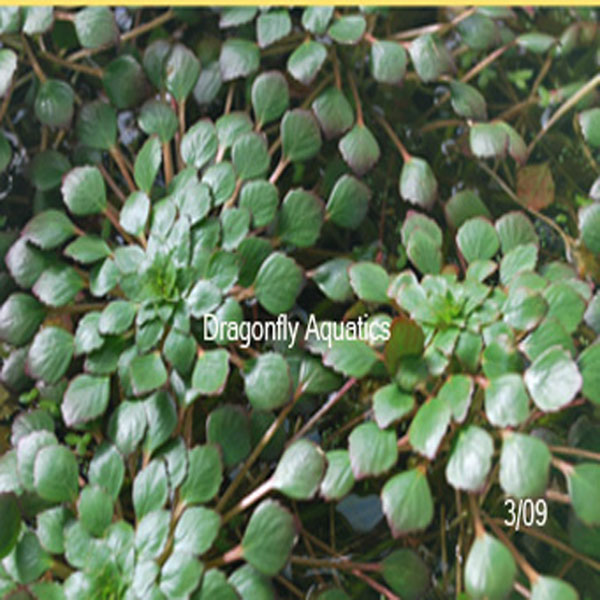 p-12524-Mosaic-Plant-my-picture2_1.jpg