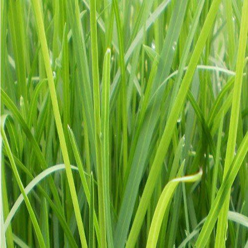p-13285-manna-grass1_01_3.jpg