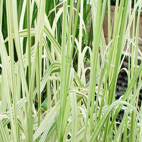 p-13287-manna-grass-var_01_2.jpg