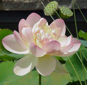 p-13307-lotus1.jpg
