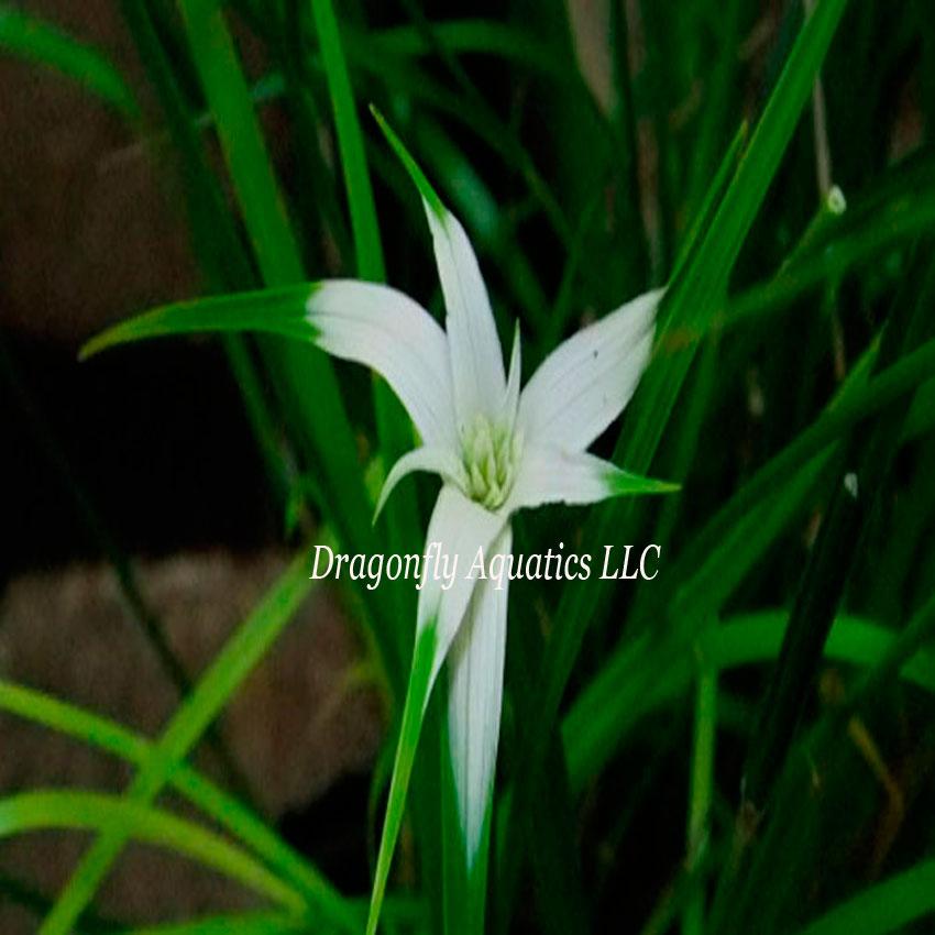 p-13135-stargrass_01_3.jpg