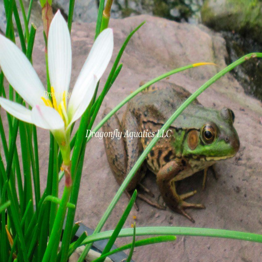 p-13190-Rain-Lilywfrog.jpg