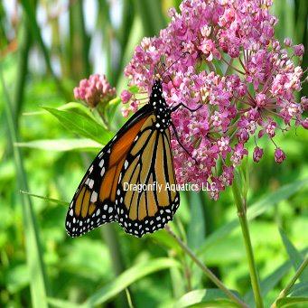 Pink Butterfly Flower (Asciepias incarnata) – Dragonfly ...