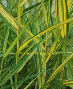 Reeds & Rushes – Dragonfly Aquatics