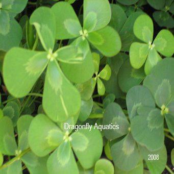 Four Leaf Aquatic Clover Pond Plant Dragonfly Aquatics