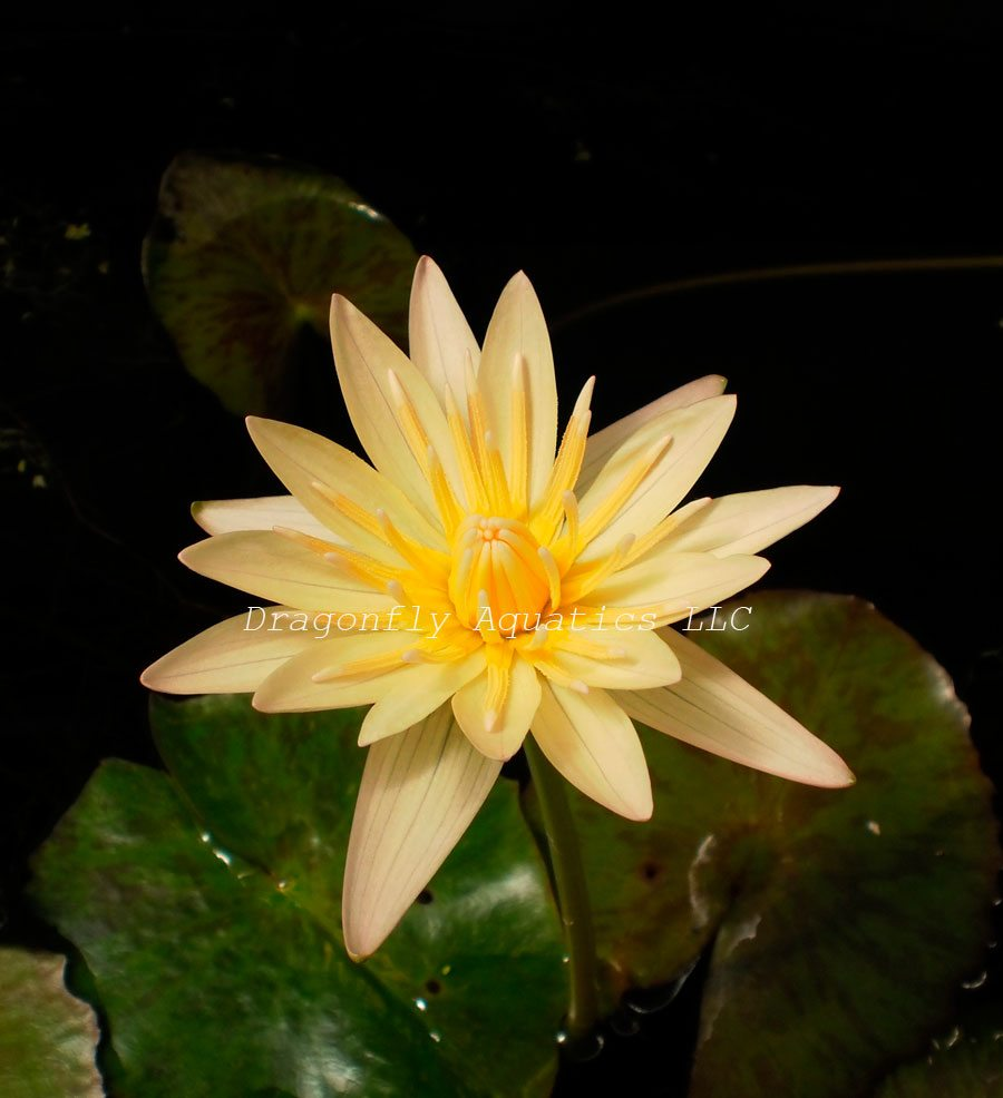 Carlas Sunshine Tropical Water Lily Pond Plant Dragonfly Aquatics